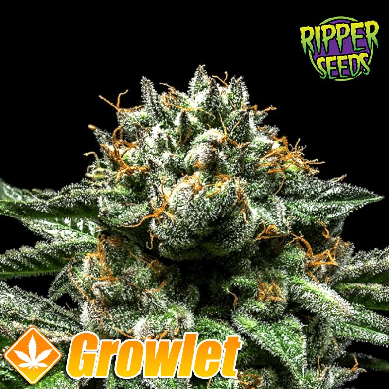 Chempie semillas feminizadas de cannabis