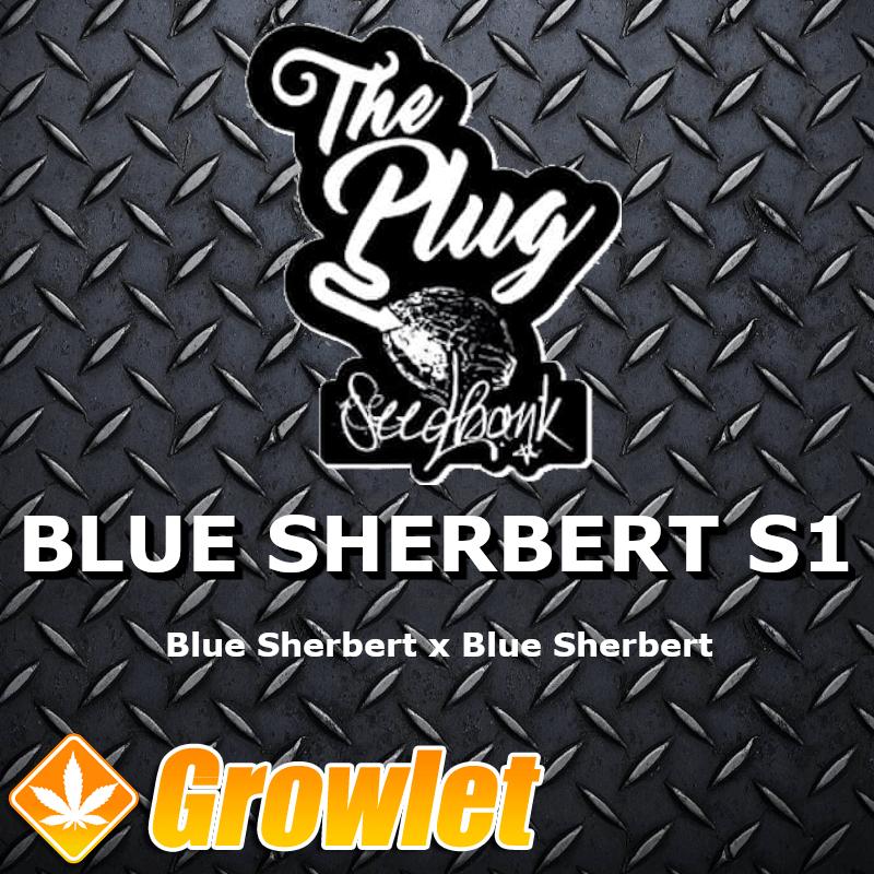 Blue Sherbert S1 semillas feminizadas de cannabis