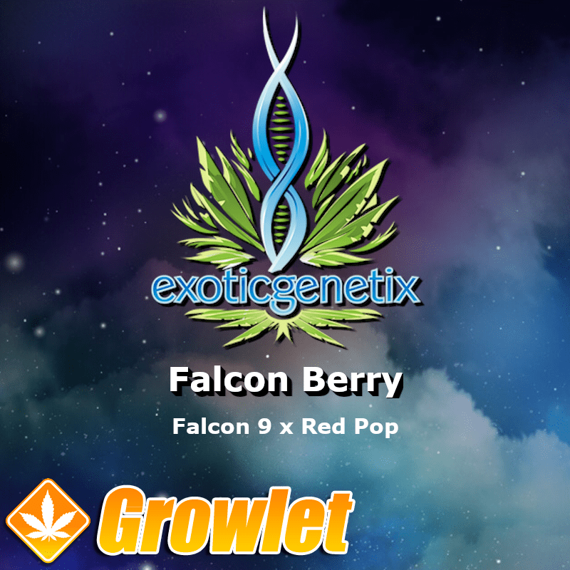 Falcon Berry semillas feminizadas de cannabis