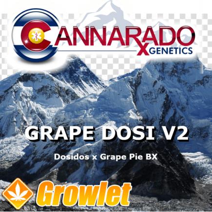 Grape Dosi V2 semillas regulares de cannabis