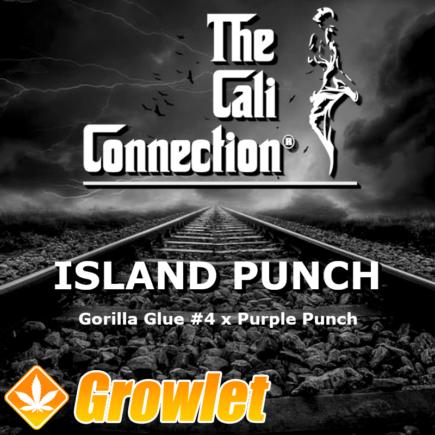 Island Punch semillas feminizadas de cannabis