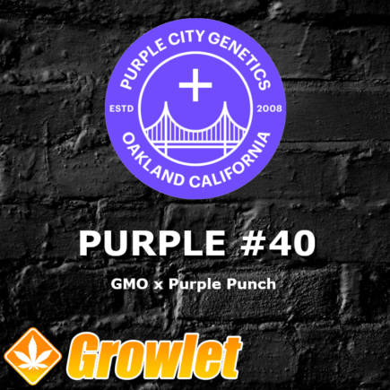 Purple #40 semillas feminizadas de cannabis