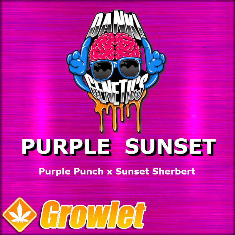 Purple Sunset semillas feminizadas de cannabis
