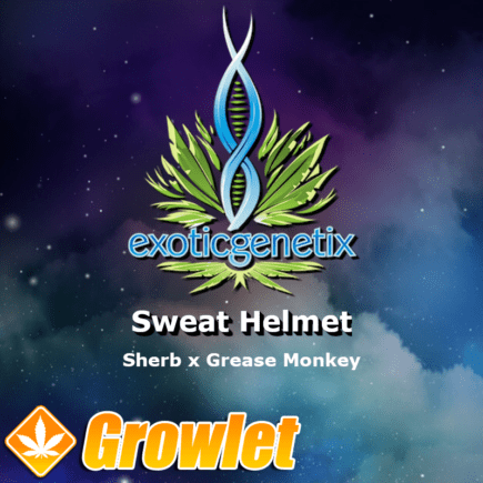 Sweat Helmet semillas feminizadas de cannabis