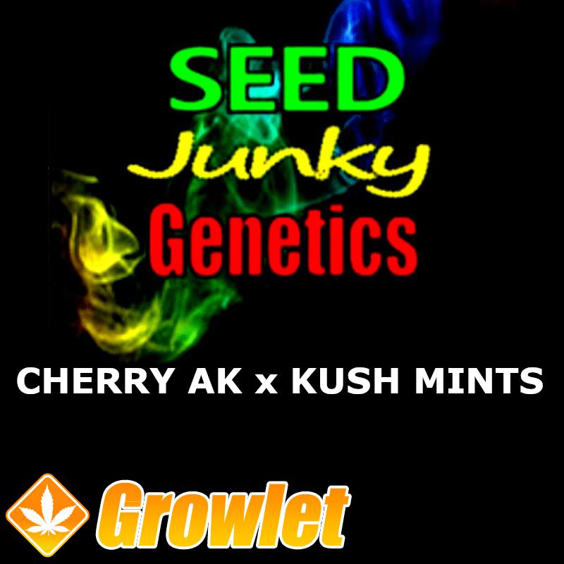Cherry AK-47 x Kush Mints 11 semillas regulares de cannabis