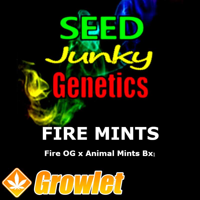Fire Mints semillas regulares de cannabis