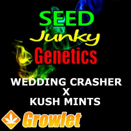 Wedding Crasher x Kush Mints 11 semillas regulares de cannabis