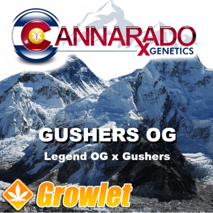 Gushers OG semillas feminizadas de cannabis