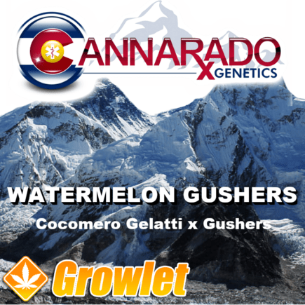 Watermelon Gushers semillas feminizadas de cannabis