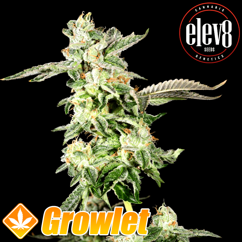 Giscotti semillas feminizadas de cannabis