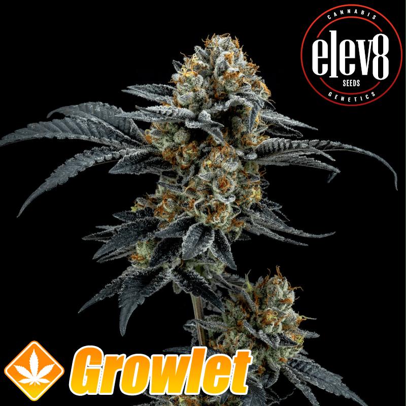 Gorilla Cookies semillas feminizadas de cannabis