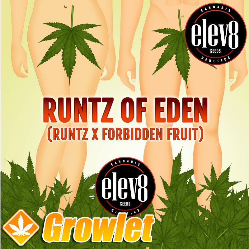 Runtz of Eden semillas feminizadas de cannabis