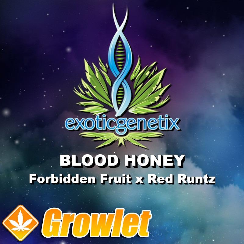 Blood Honey semillas feminizadas de cannabis